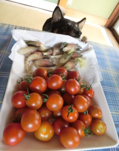 収穫したトマトとミョウガと黒柴ルイ&蝉の抜け殻