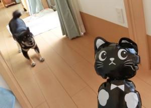 黒猫を見て興奮しまくる黒柴ルイ