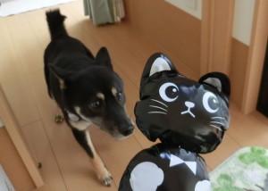 おもちゃの黒猫に恐る恐る近づく黒柴ルイ