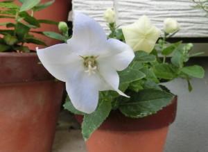 真っ白で大輪の花を咲かせた白キキョウ