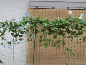 青と白の花が咲き出した西洋朝顔