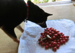 収穫したトマトとミョウガと黒柴ルイ