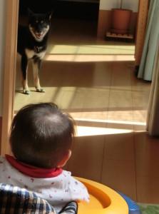 歩行器に乗ったみこっちゃんを遠巻きに見る黒柴ルイ