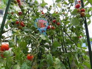 大豊作のトマト
