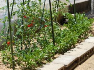 トマト&セロリ畑