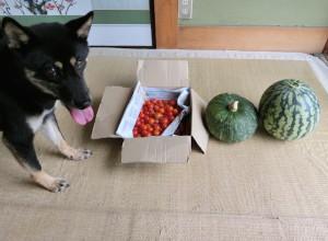 収穫したスイカとカボチャとトマトと唐辛子と黒柴ルイ