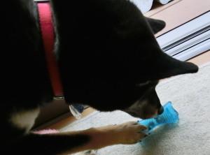 おもちゃを転がしておやつを取り出す黒柴ルイ