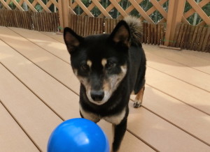 みこっちゃんのボールをもらった黒柴ルイ