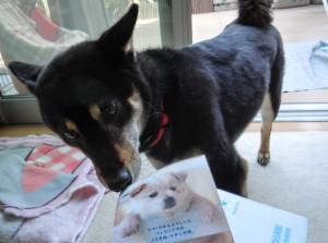 犬の写真を舐め廻る黒柴ルイ