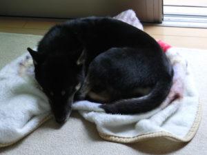 猫のように丸まって寝る黒柴ルイ