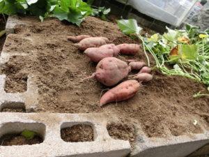 掘り起こしたサツマイモ