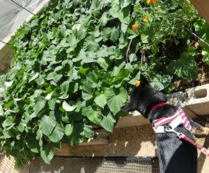 さつま芋畑と黒柴ルイ