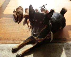 サツマイモの番犬をしている黒柴ルイ