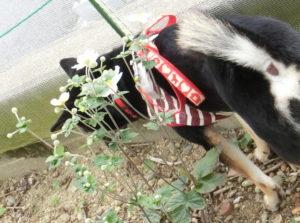 秋明菊と黒柴ルイ