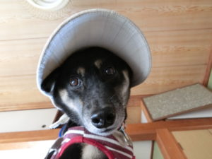 帽子をかぶって気合を入れる黒柴ルイ