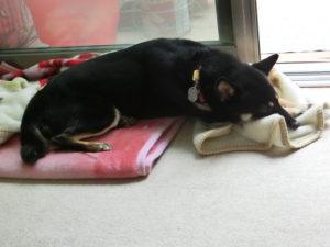 毛布にまたがって寝る黒柴ルイ