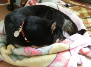 毛布の上で寒そうに丸くなる黒柴ルイ