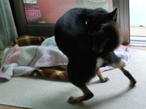 尻尾を追いかけて一人で遊ぶ黒柴ルイ