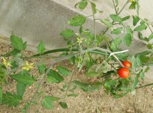 赤く実ったトマト