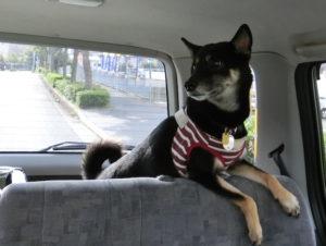 ドライブを楽しむ黒柴ルイ