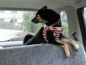 ドライブの行き先が気になりだした黒柴ルイ