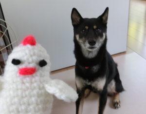 ニワトリの編みぐるみと黒柴ルイ