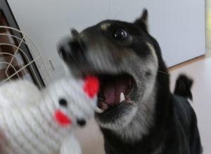 編みぐるみのニワトリにかぶりつく黒柴ルイ