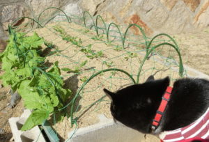 菜の花&ほうれん草畑と黒柴ルイ