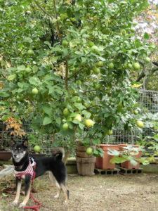 レモンの大木と黒柴ルイ