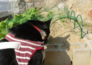 ほうれん草&菜の花畑と黒柴ルイ