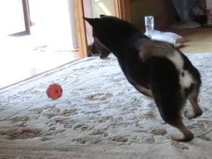 ボール遊びをする黒柴ルイ