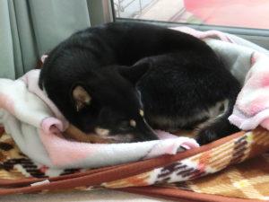 毛布の中で丸くなって寝る黒柴ルイ