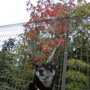 紅葉と黒柴ルイ