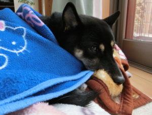 毛布の中で小さくなる黒柴ルイ