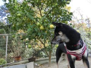 レモンの木と黒柴ルイ