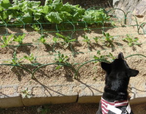菜の花とほうれん草の畑と黒柴ルイ