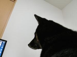 膝に乗ってパソコンを見る黒柴ルイ