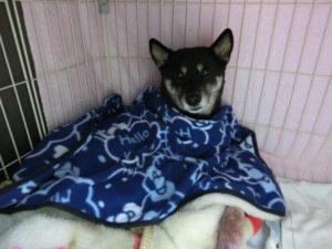 毛布にくるまってフリースをかけて完全防寒で寝る黒柴ルイ