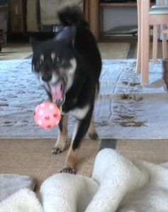 家の中でボール遊びをする黒柴ルイ