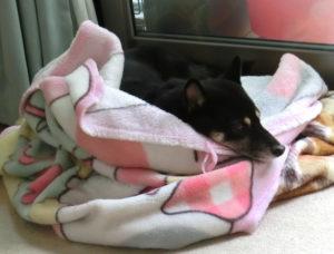 毛布の上で気持ちよさそうに寝る黒柴ルイ